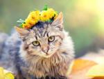 Un chat Sibérien porte une couronne de fleurs jaunes sur la tête