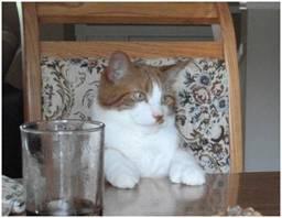 Chat Mitaine - Mâle (5 ans)