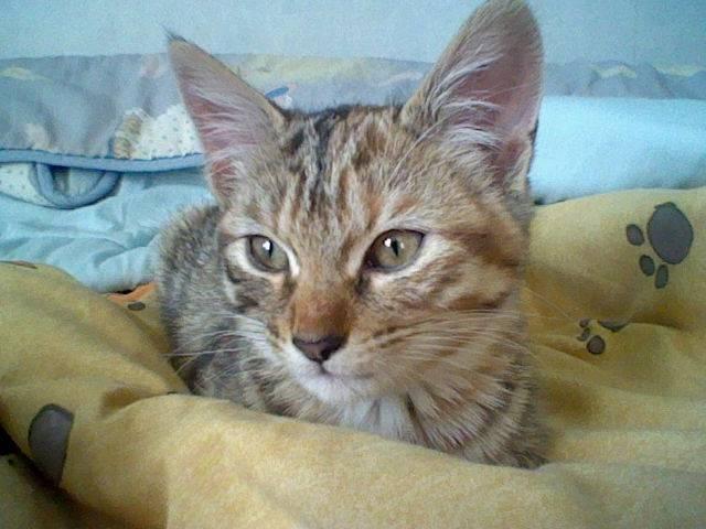 Chat Mikkie a déjà bien changé ! -  (4 mois)
