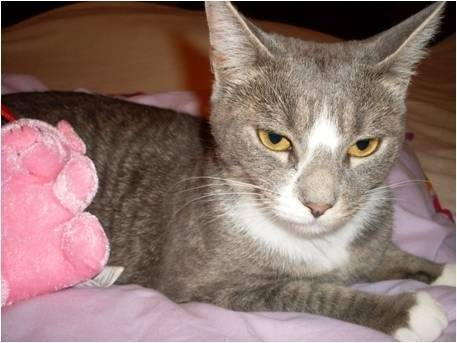 Chat Molly -  (2 ans)