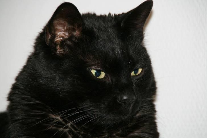 Ma perle noire - Chat Mâle (9 ans)