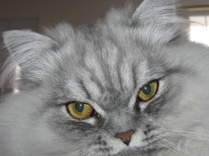 Bicky - Chat Mâle (2 ans)