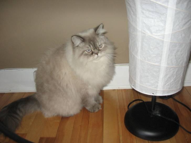 Froufrou - Chat Mâle (3 ans)