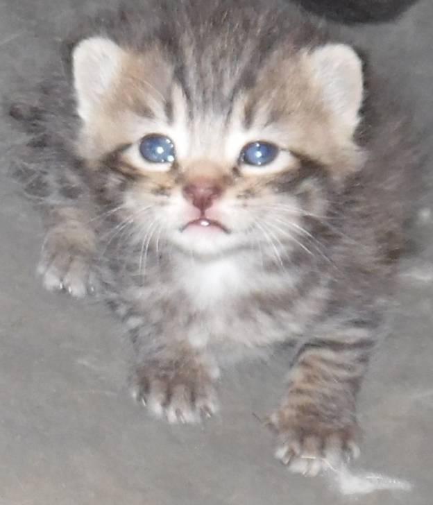 Chat Lixie -  (2 mois)