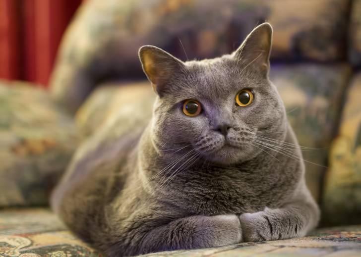 Un Chartreux aux yeux jaunes assis sur un canapé