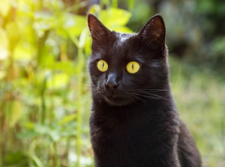 Un chat Bombay dans un jardin