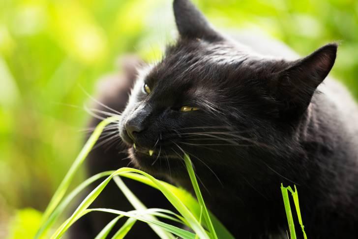 Un Bombay mange de l'herbe dans le jardin