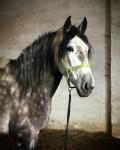 Cheval Ganador - Mâle (5 ans)