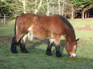 Cheval Bise -  (2 ans)