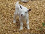 Chèvre Nanny - Femelle (1 an)
