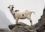 Chèvre cabra - Femelle (1 mois)