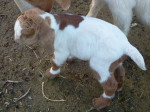 Chèvre Mr. Oakley - Mâle (4 mois)