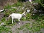 blanchette - Chèvre