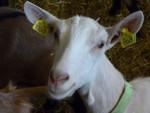 Chèvre Flocon de Neige - Femelle (1 an)