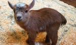 Chèvre Goat - Femelle (3 mois)