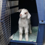 Chèvre Lou - Femelle (7 mois)