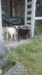 Chèvre Les chèvres -  (Vient de naître)