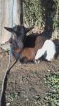 Chèvre Nina - Femelle (2 ans)