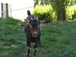 salide - Chèvre (9 mois)