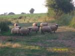 Chèvre Les moutons au champs -  (Vient de naître)