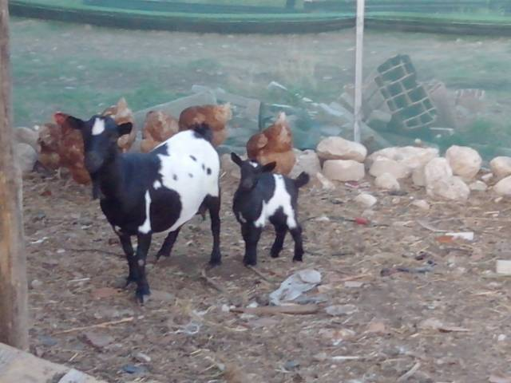 Coffy e Macchia - Chèvre