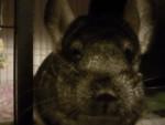 Chinchilla buffy - Femelle (2 ans)