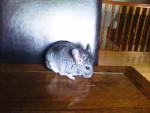Chinchilla Speed - Mâle (9 mois)