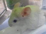 Chinchilla Peter - Mâle (1 an)