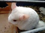 Chinchilla Blanche-Neige - Femelle (Vient de naître)