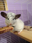 Chinchilla Willow Kaiya - Femelle (2 ans)