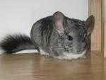 Chinchilla sanaa - Femelle (10 mois)