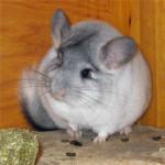 Chinchilla Candice - Femelle (1 mois)