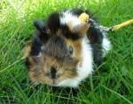 Cochon d\'Inde Mon petit cochon d\'inde rosette Frimousse - Mâle (3 ans)