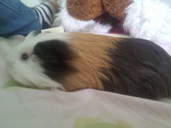 fripouille - Cochon d'Inde Mâle (1 an)