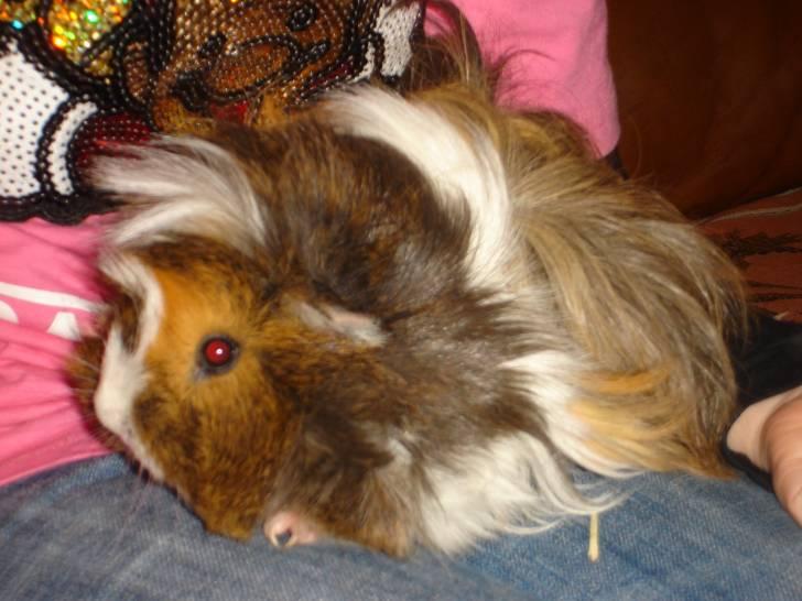 Caramelle - Cochon d'Inde (6 ans)