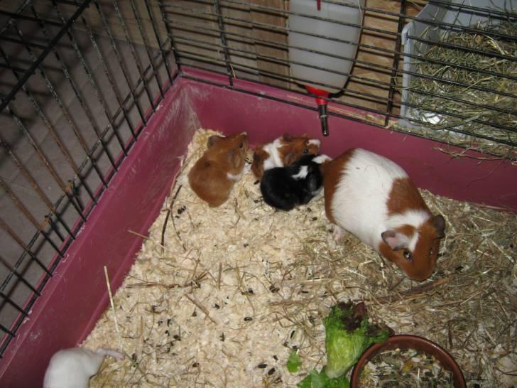 Cochon d'Inde Mes boubous -  (0 mois)