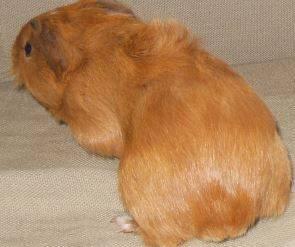 Cochon d'Inde Siou - Mâle (0 mois)
