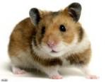 Hamster Brender - Femelle (4 ans)