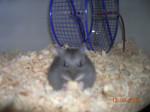 Annastasia - Hamster (11 mois)