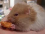 Lea - Hamster (9 mois)