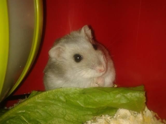 Krystal - Hamster (2 ans)