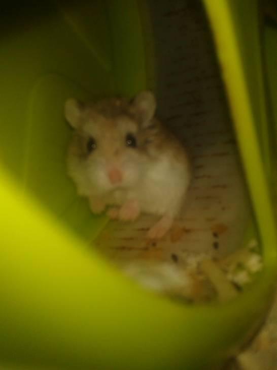 Héra - Hamster (3 mois)