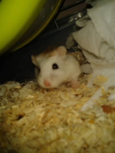 Isis - Hamster (6 mois)
