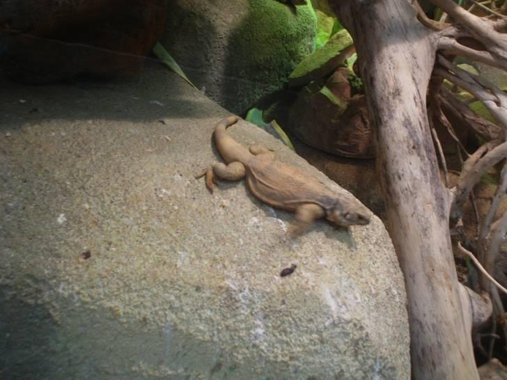 rocky - Iguane Mâle (3 ans)