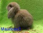 Lapin avec pelage spécifique Lino - Mâle (Vient de naître)