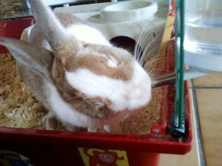 coquette - Lapin nain (4 ans)