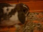 Lapin Kiwi...? - Femelle (2 ans)