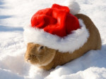 Lapin Snow - Femelle (8 mois)