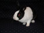 Lapin Holly - Femelle (5 ans)