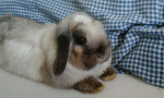 Lapin Cabery - Femelle (6 mois)